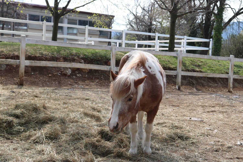 Vor allem für die Kinder sind die Lipica Ponys.