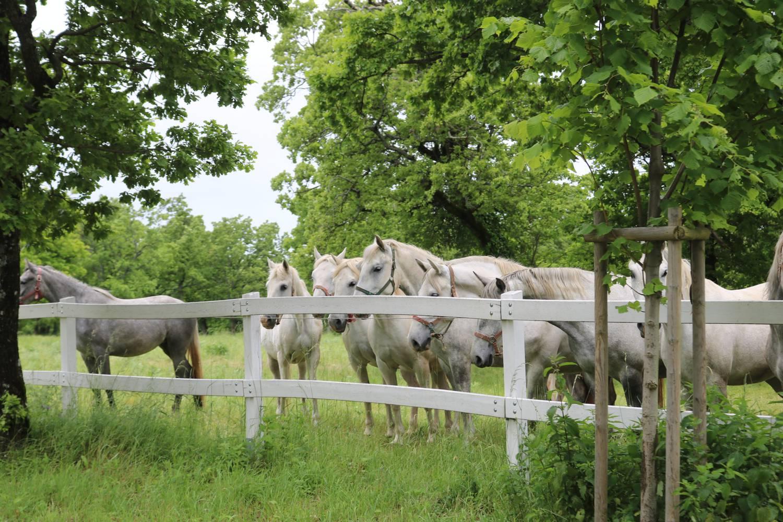 Wunderschöne grüne Koppeln für die Pferde von Lipica.